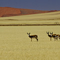Springbok At Sossusvlei by Michele Burgess