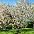 Springtime Blossoms by Alan L Graham