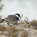 Spur-winged Lapwing Vanellus Spinosus by Alon Meir