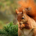 Squirrel by Dorothy Binder