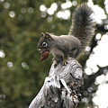 Squirrel by Earl Nelson