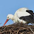 Stork On A Nest by Nick Biemans