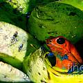 Strawberry Poison Dart Frog by Dant� Fenolio