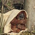 Sumatran Orangutang - by Chris Smith