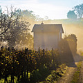Sun Rays In Morning Fog Vineyard View by Brch Photography