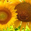 Sun Sisters by Priscilla Rink