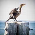 Sunbathing Cormorant by Robert Anastasi