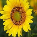 Sunflower by Amanda Barcon