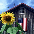 Sunflower By Barn by Sally Weigand
