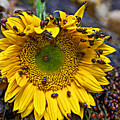 Sunflower covered in ladybugs by Garry Gay