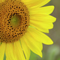 Sunflower by Debra Fedchin