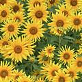 Sunflower by Dorothy Binder