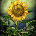 Sunflower by Naman Imagery