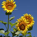 Sunflowers by Amanda Barcon