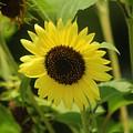 Sunflowers by Baltzgar