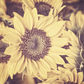 Sunflowers by Lisa Russo