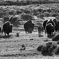 Sunset Bison Stroll Black And White by Adam Jewell