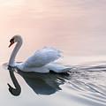 Sunset Swan by Elena Elisseeva