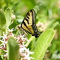Swallowtail  by Jeff Swan