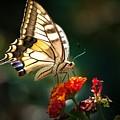 Swallowtail by Meir Ezrachi