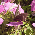Swallowtail by Steve Kenney
