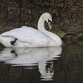 Swan Reflection by Jeremy Hayden