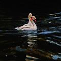 Swans by Daniele Smith