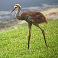 Sweet Juvenile Sandhill Crane by Carol Groenen