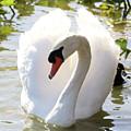 Sweet Swan 2 by Carol Groenen