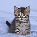 Tabby Kitten by Jean-Louis Klein & Marie-Luce Hubert