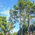 Tall Pine Trees by Jess Kraft