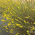 Tarweed Flowering by Inga Spence