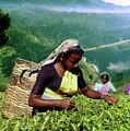 Tea Pluckers by Sarath Dissanayake