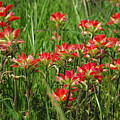 Texas Paintbrush by Robyn Stacey