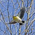 The American Goldfinch In-flight, by Asbed Iskedjian
