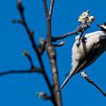 The Chickadee by Heather Hubbard