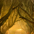 The Dark Hedges IIi by Pawel Klarecki