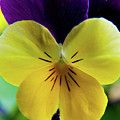 The Face Of A Pansy by Brenda Jacobs