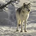 The Gray Wolf by Carolyn Fox