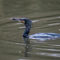 The Great Cormorant by Stephen Jenkins