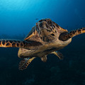 The Hawksbill Sea Turtle, Bonaire by Terry Moore