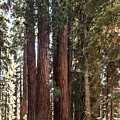 The House Group Giant Sequoia Trees Sequoia National Park by NaturesPix