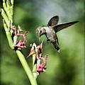 The Hummingbird  by Saija  Lehtonen
