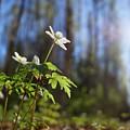 The Morning. Wood Anemone by Jouko Lehto