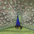 The Peacock by Diane Hawkins