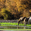 The Salt River Wild Horses  by Saija Lehtonen