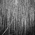 Thicket by Doug Gibbons