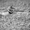 Three Banded Plover by Melanie Meyer