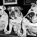 Three English Bulldogs by Underwood Archives