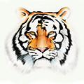 Tiger by Brian Gibbs